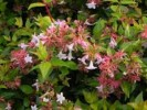 The Smallest Abelia Ever Found In the World