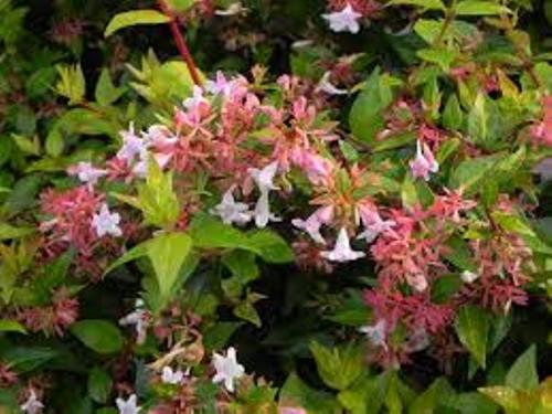 Smallest Abelia Colors