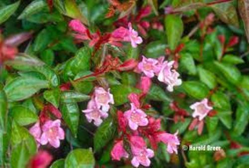 Smallest Abelia Pink