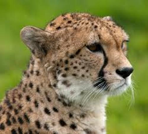 Fastest Accelerating Animal Cheetah